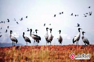 """6只黑颈鹤""""探路者""""抵达云南会泽 比去年提早11天"""
