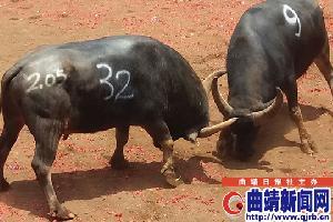 """罗平斗牛大战添彩火把节 """"牛王""""获奖12000元"""